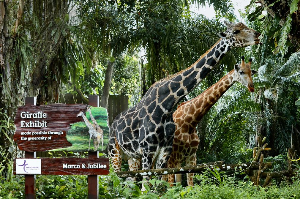 Singapore Zoo giraffes adopted by Tan Chong International
